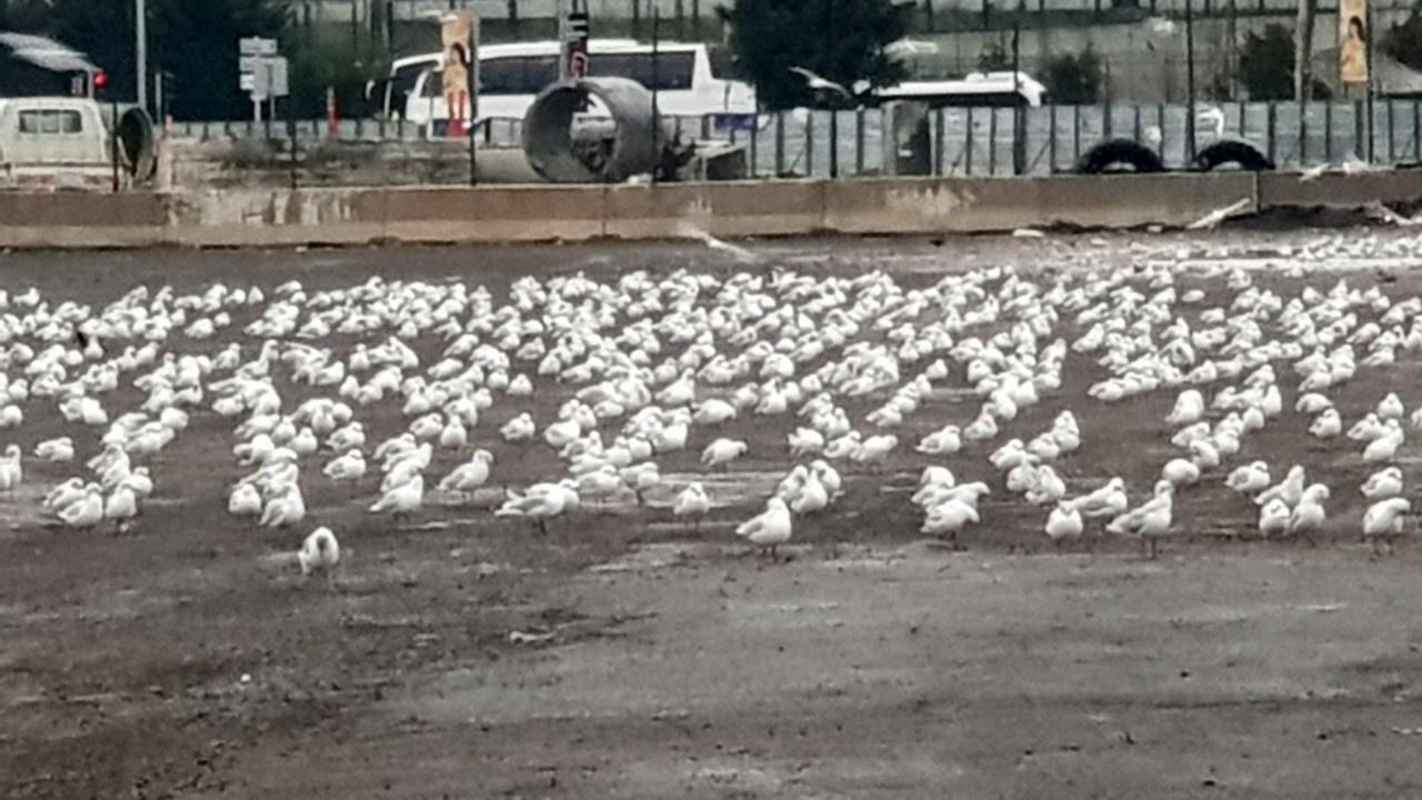 Binlerce martı otoparka sığındı