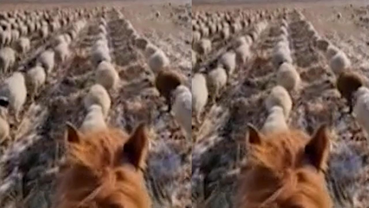 Çobandan koyunlara şaşırtan eğitim!