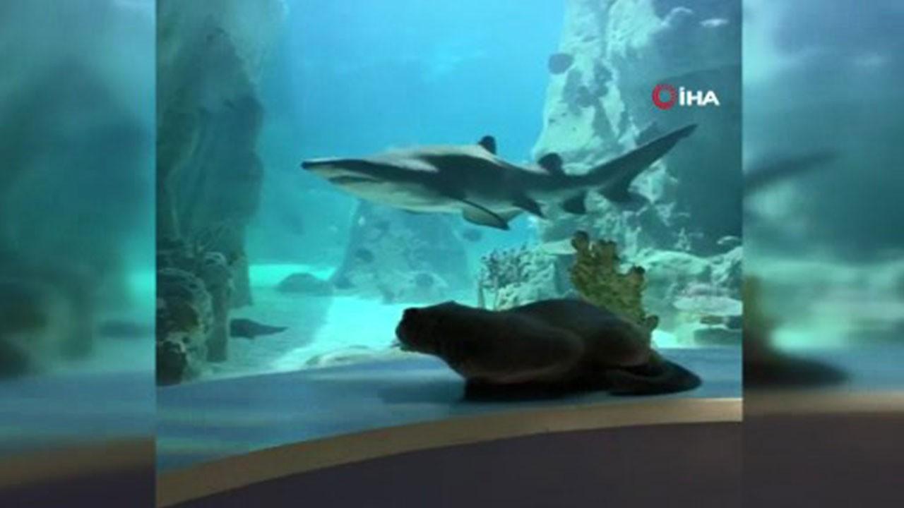 Balıkları izleyen kedi, köpek balığını görünce...
