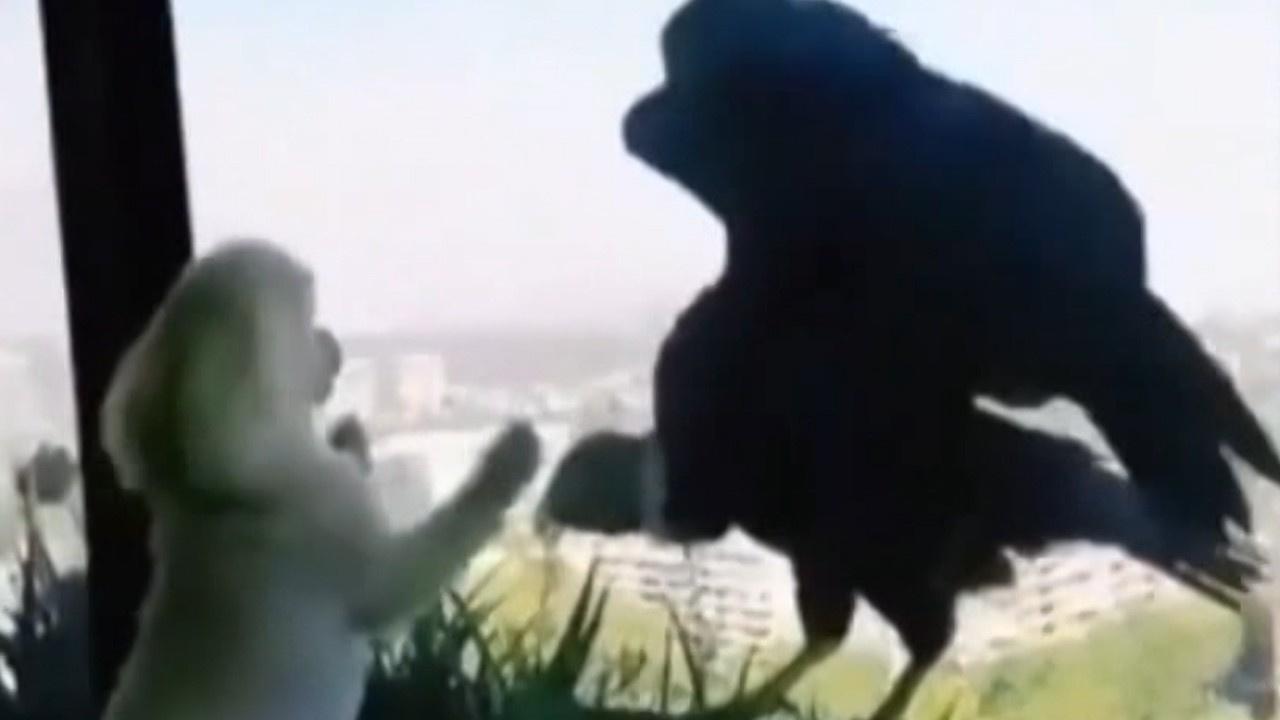 Aç kalan akbabalar köpeklere böyle saldırdı!
