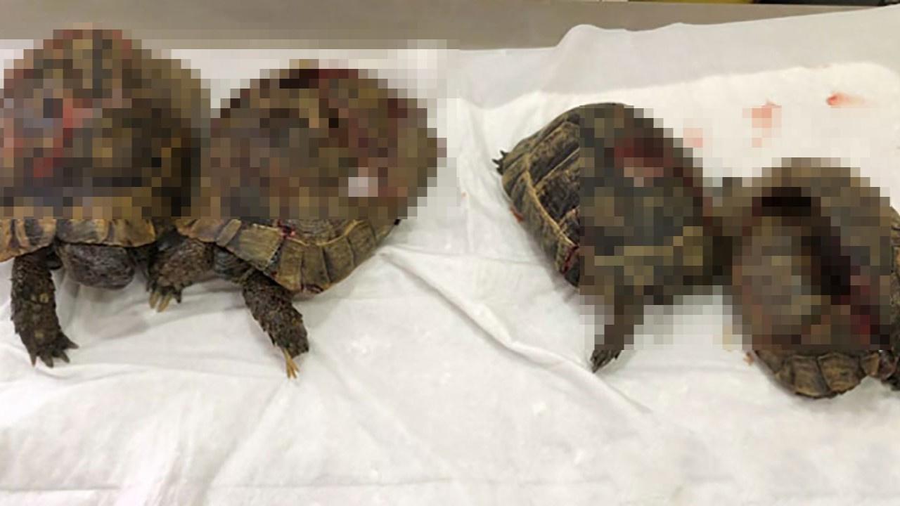 Kaplumbağa vahşetinde akılalmaz sözler!