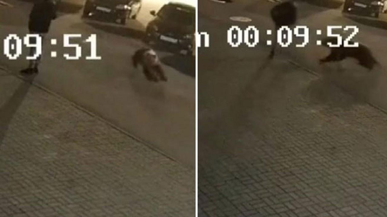 Kaldırımda yürürken ayı saldırdı