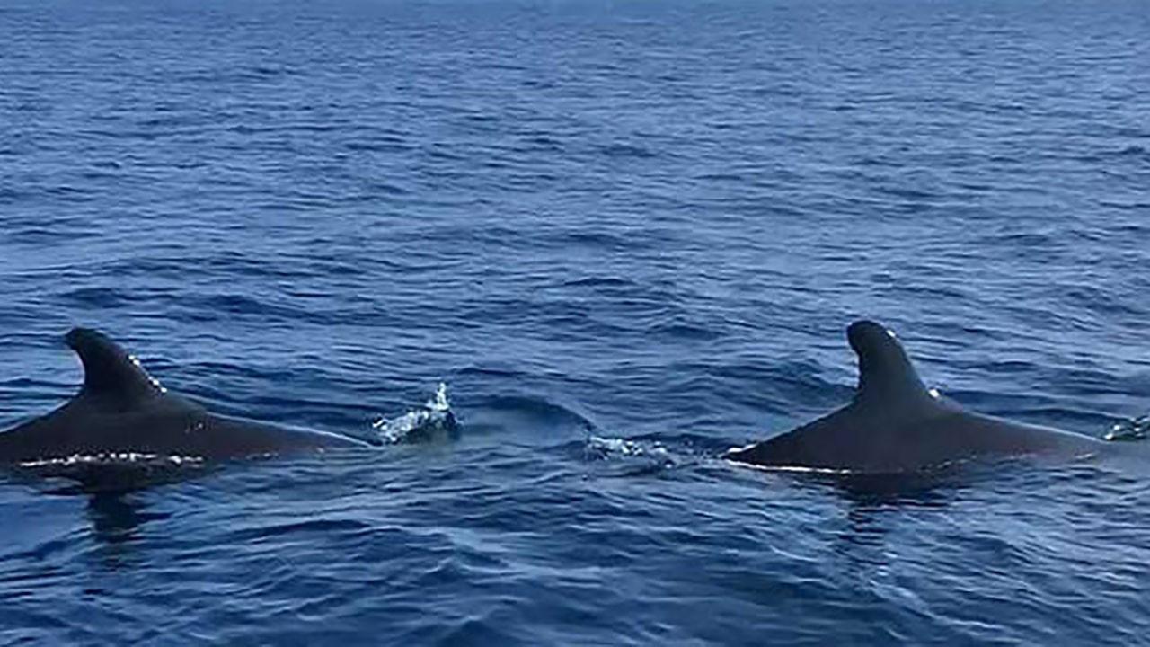 Ege Denizi'nde balina şaşkınlığı! İlk kez görüldü