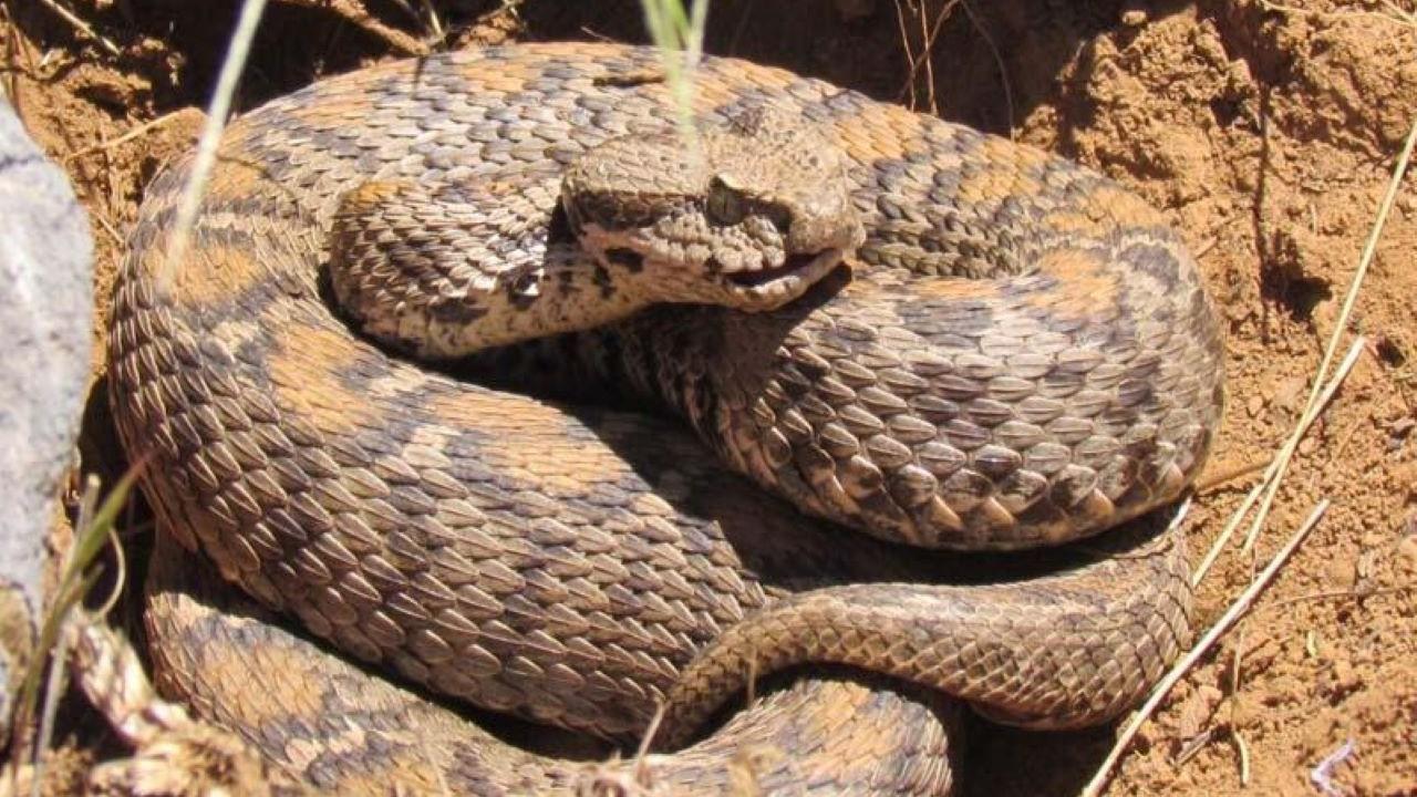 Wagner engerek yılanı Tunceli'de görüntülendi