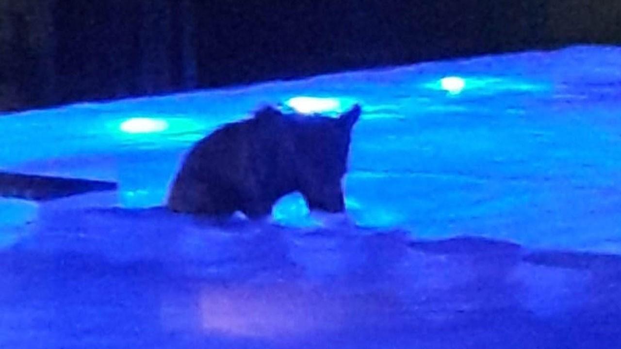 Yavru boz ayı havuz keyfi yaptı
