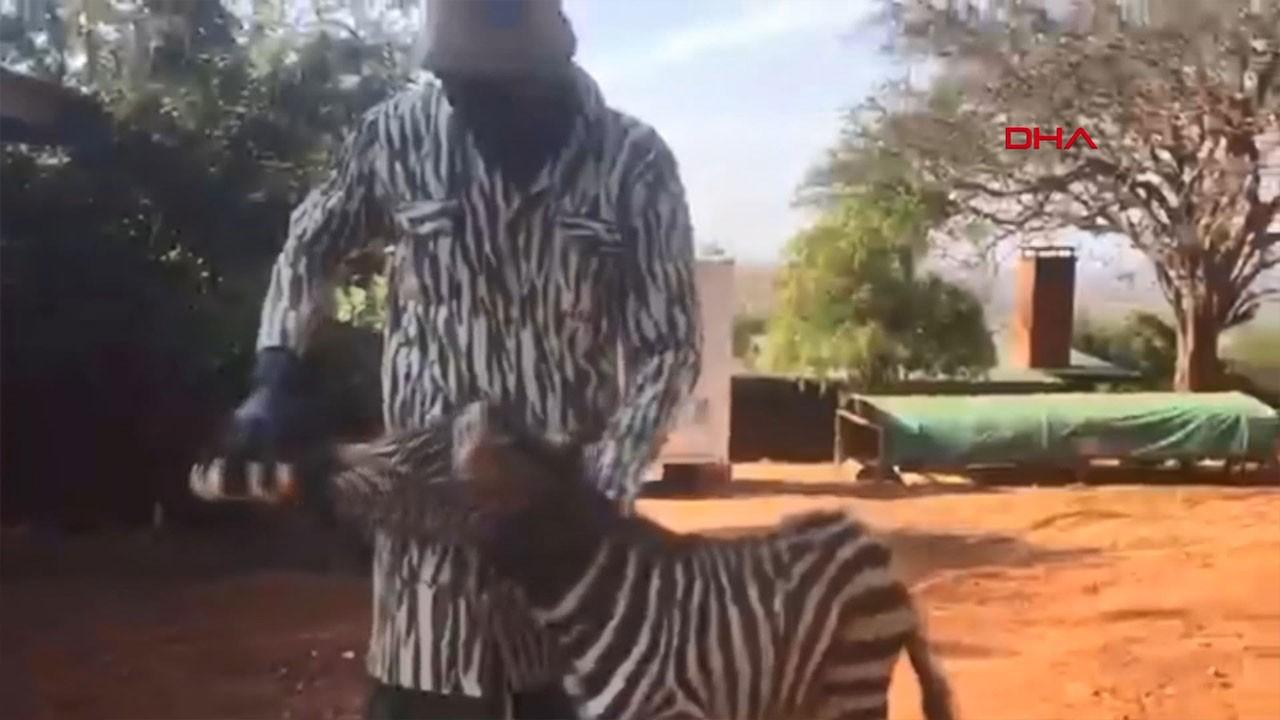 Öksüz kalan zebraya zebra kıyafetli görevliler...