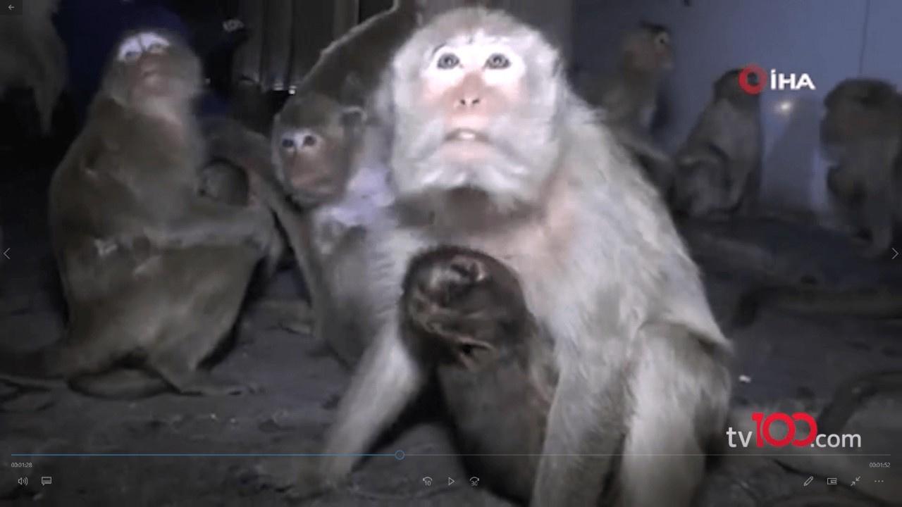 Havai fişekten korkan maymunlar caddeye akın etti