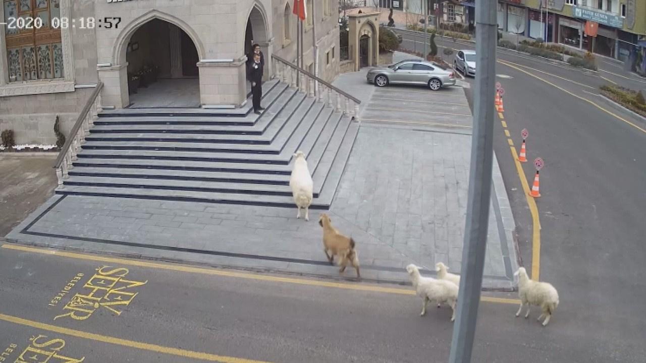 Koyunlar belediye binasına girmeye çalışmıştı...