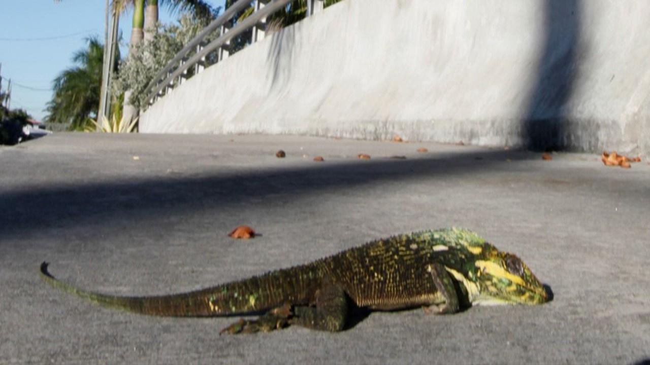ABD'de gökten iguana yağıyor