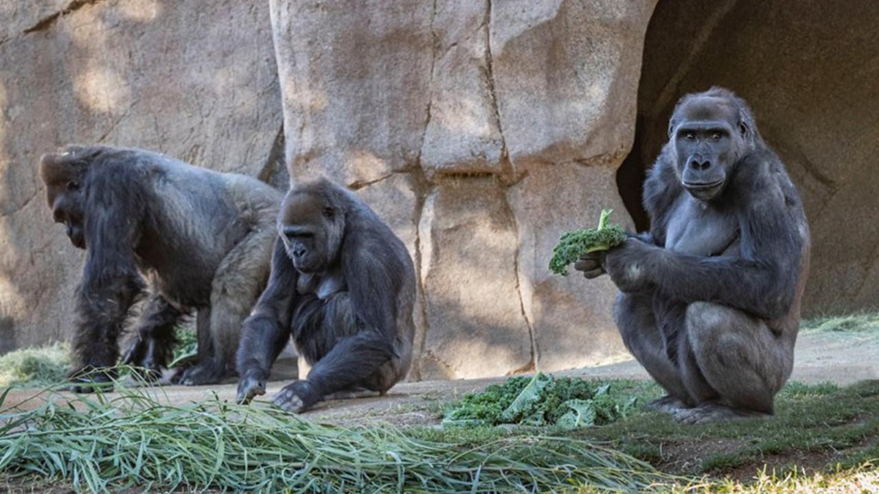 Gorillerin korona virüsü testi pozitif çıktı
