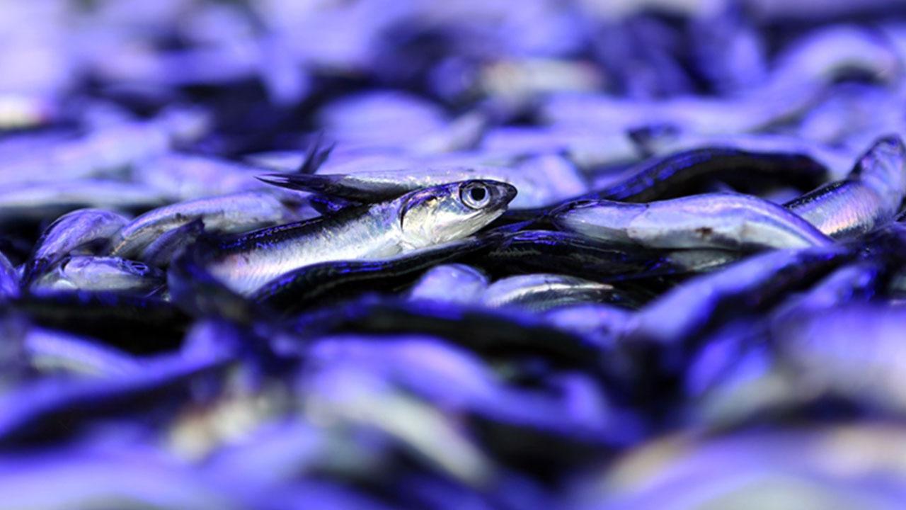 Balıkçıların yüzü gülmedi! Hamsinin yeni fiyatı...
