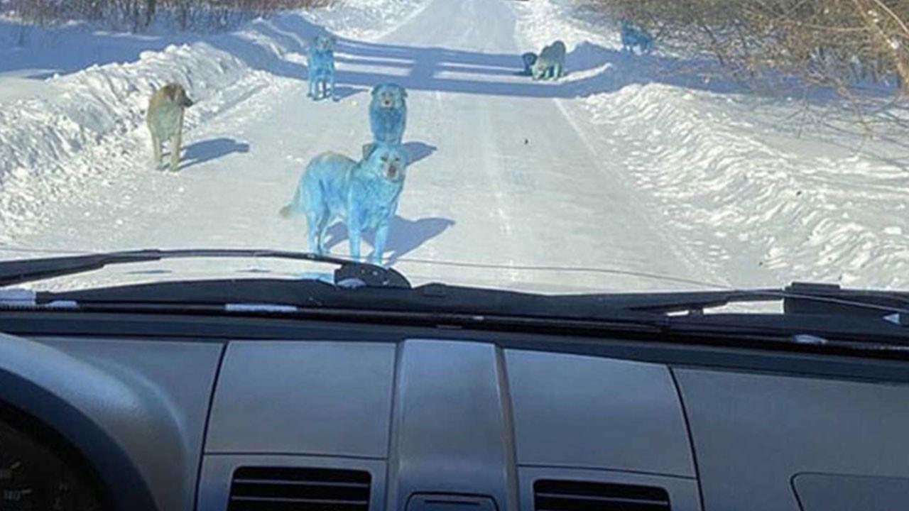 Turuncu kardan sonra mavi köpek şaşırttı!
