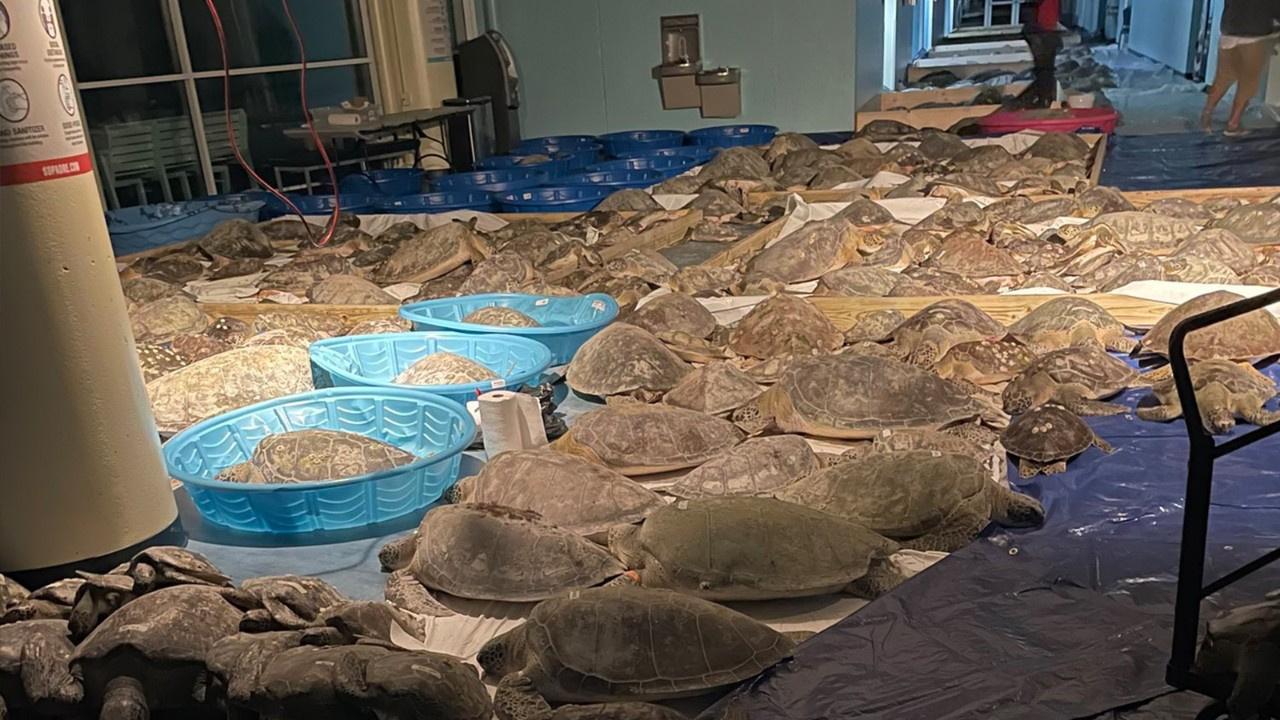 Binlerce deniz kaplumbağası kurtarıldı