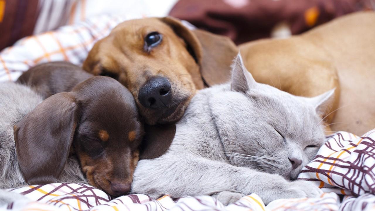 Kedi ve köpek sahipleri dikkat: Zorunlu oluyor
