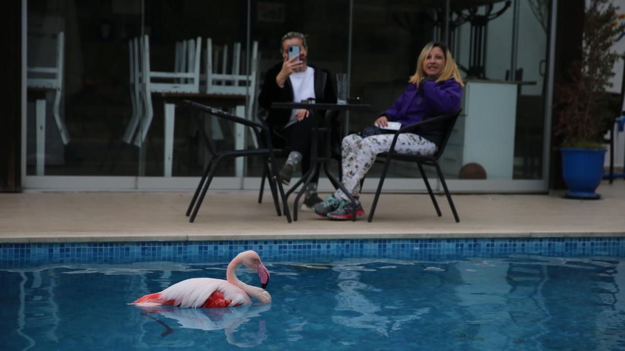 Yaralı flamingo otelin bahçesine düştü