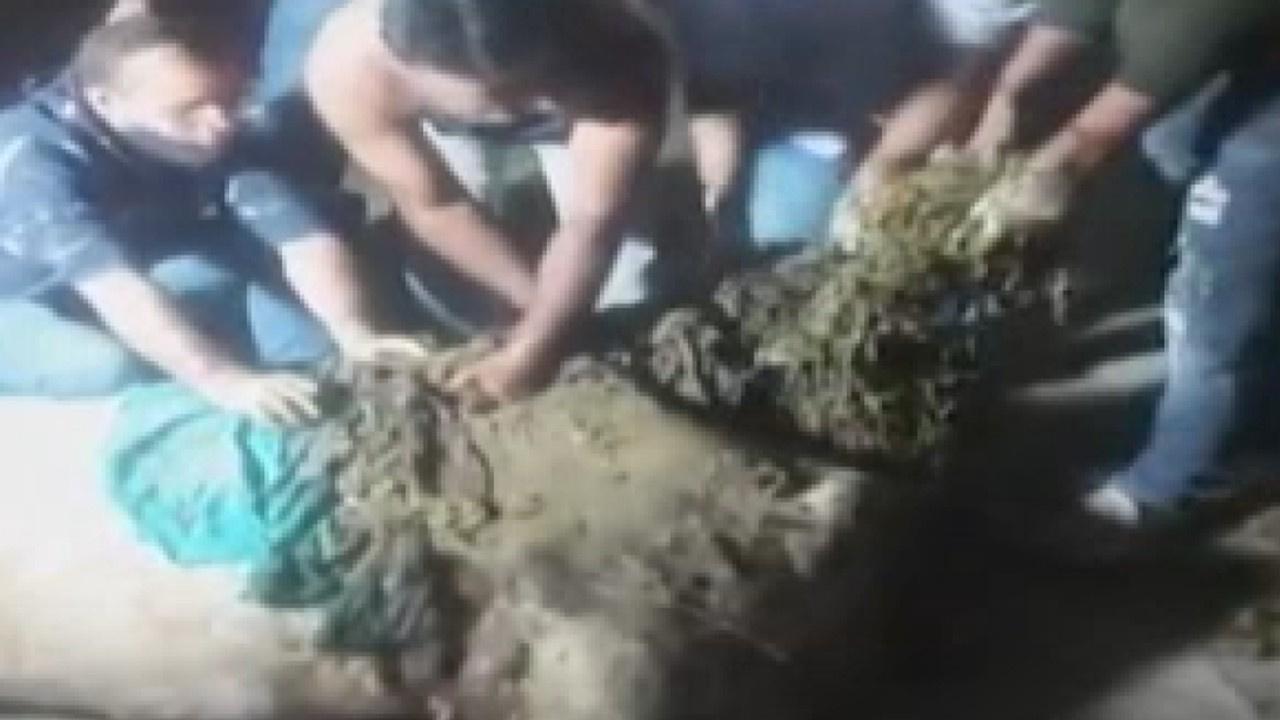 Hindistan'da ineğin midesinden 71 kilo atık çıktı