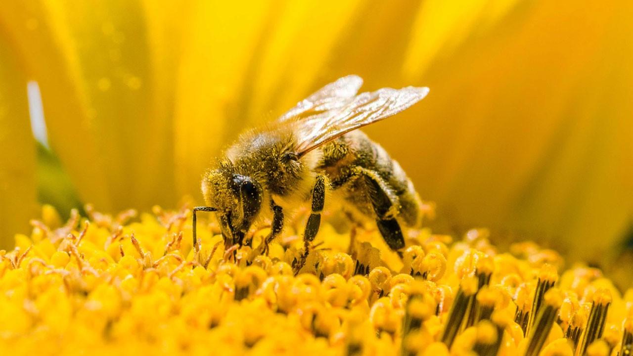 Koronavirüs salgınında arı mucizesi