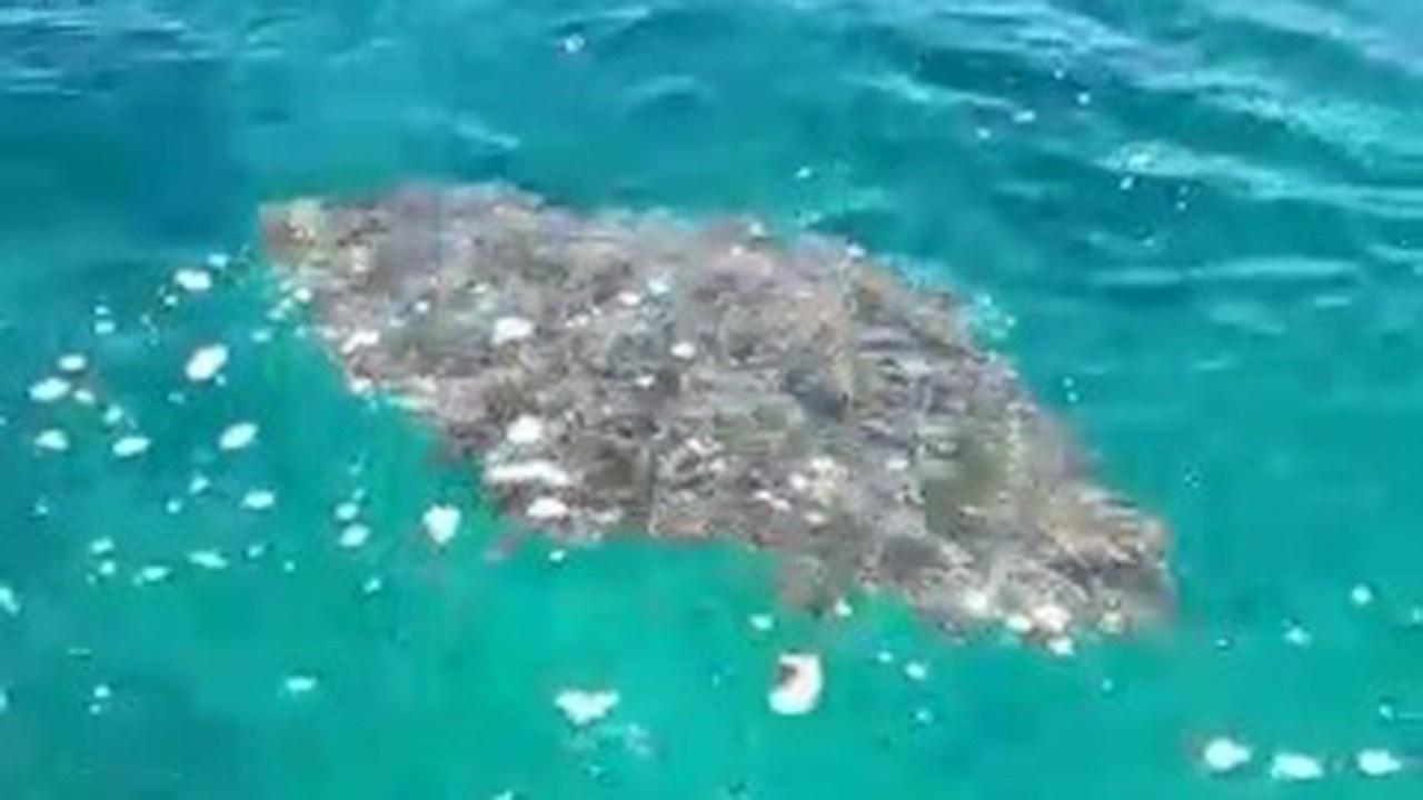 Balıkçı ağlarına takılan dev vatozu polis kurtardı