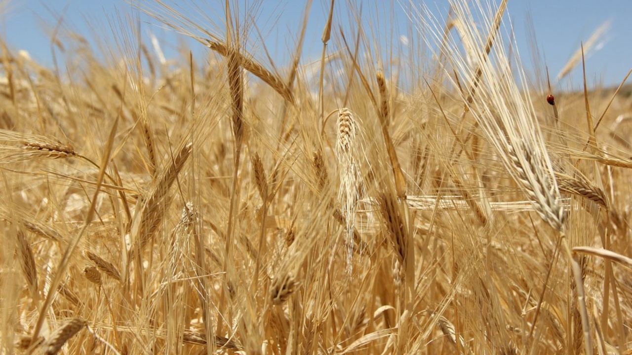 300 bin ton ekmeklik buğday için teklif alındı