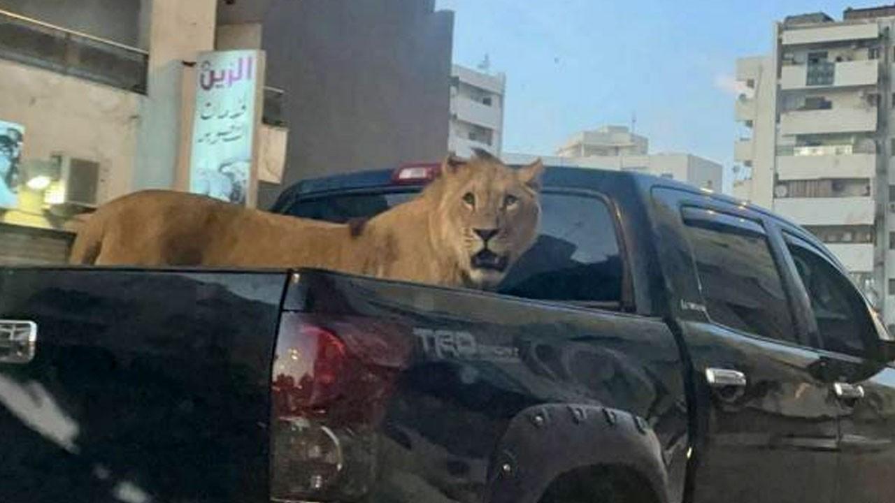Aracın kasasında aslan gezdirdi!
