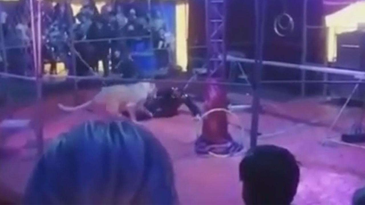 Kaplan sirkte eğitmenine saldırdı! İşte o anlar...