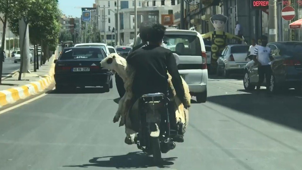 Koyunun motosikletle yolculuğu kamerada