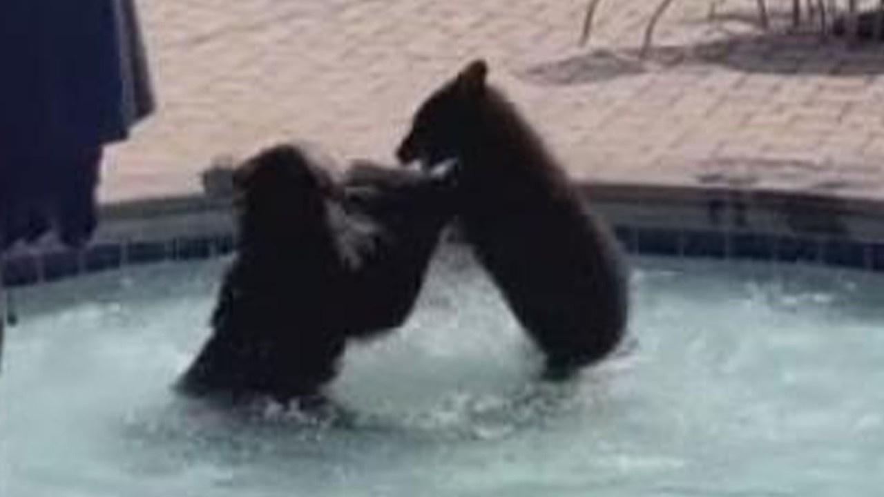 Ayılar havuz partisini bastı! İşte o anlar...