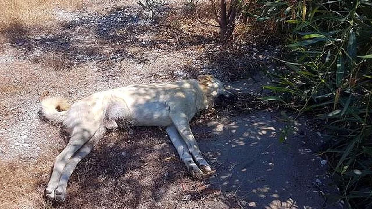 Antalya'da köpekler zehirlenerek öldürüldü...