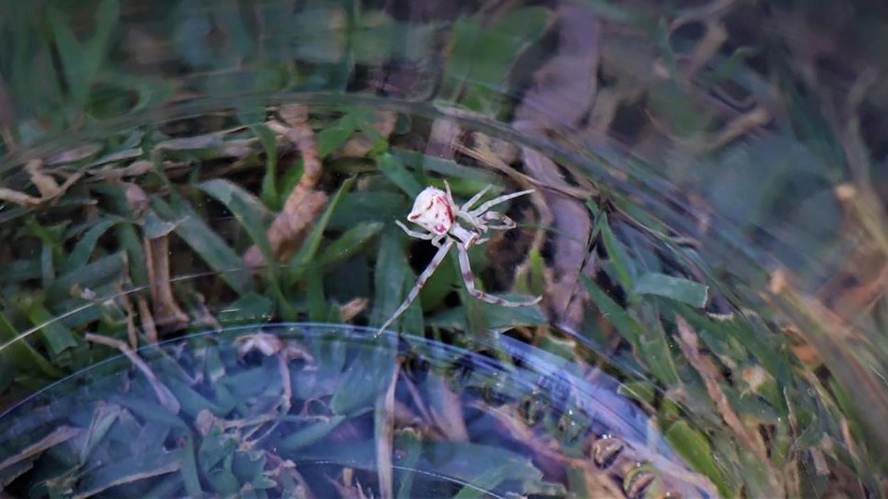 İnsan yüzlü örümcek yakından görüntülendi