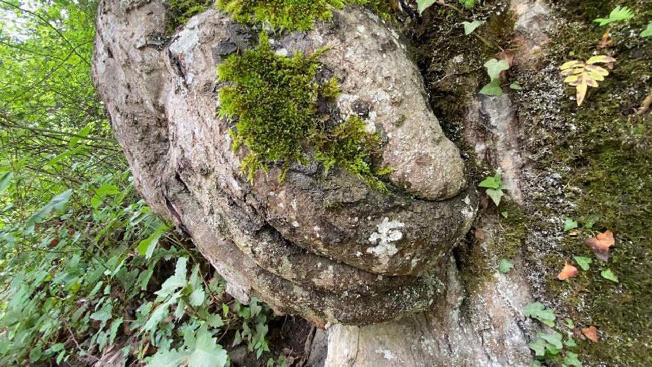 Gövdesinde el figürü olan ağaç koruma altında