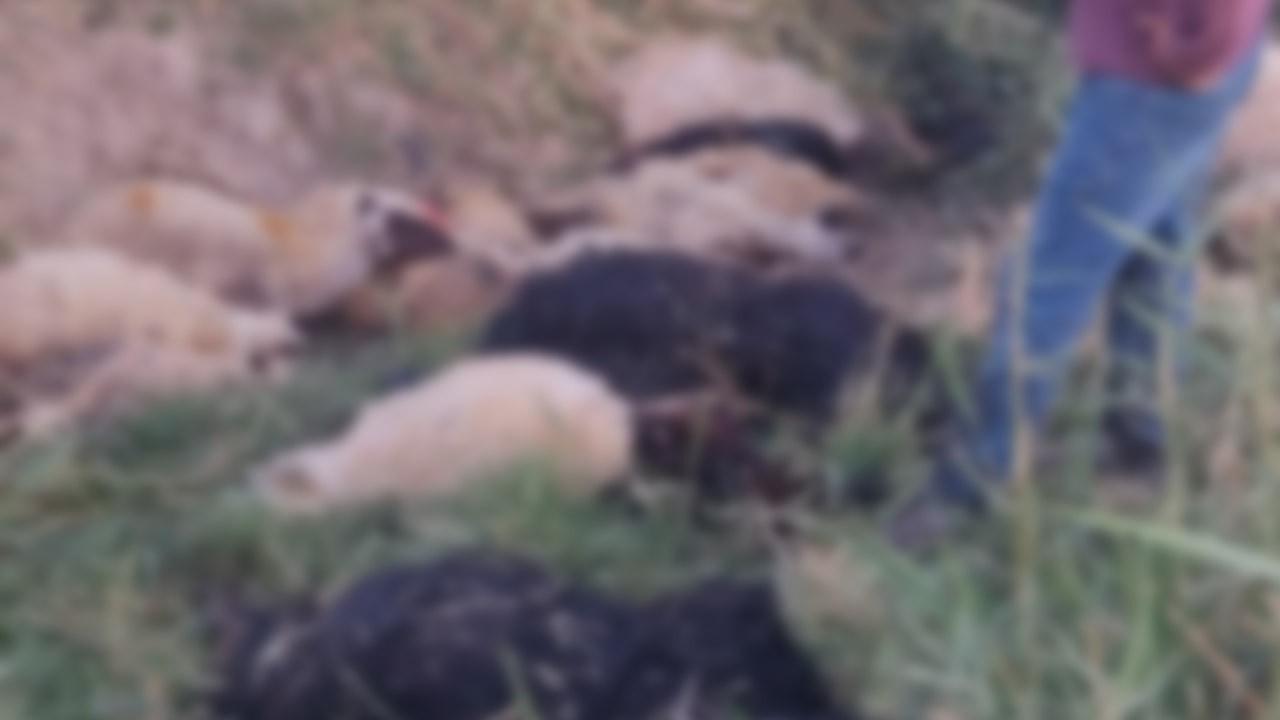 Irmağa atlayan koyunu 500 koyun daha takip etti