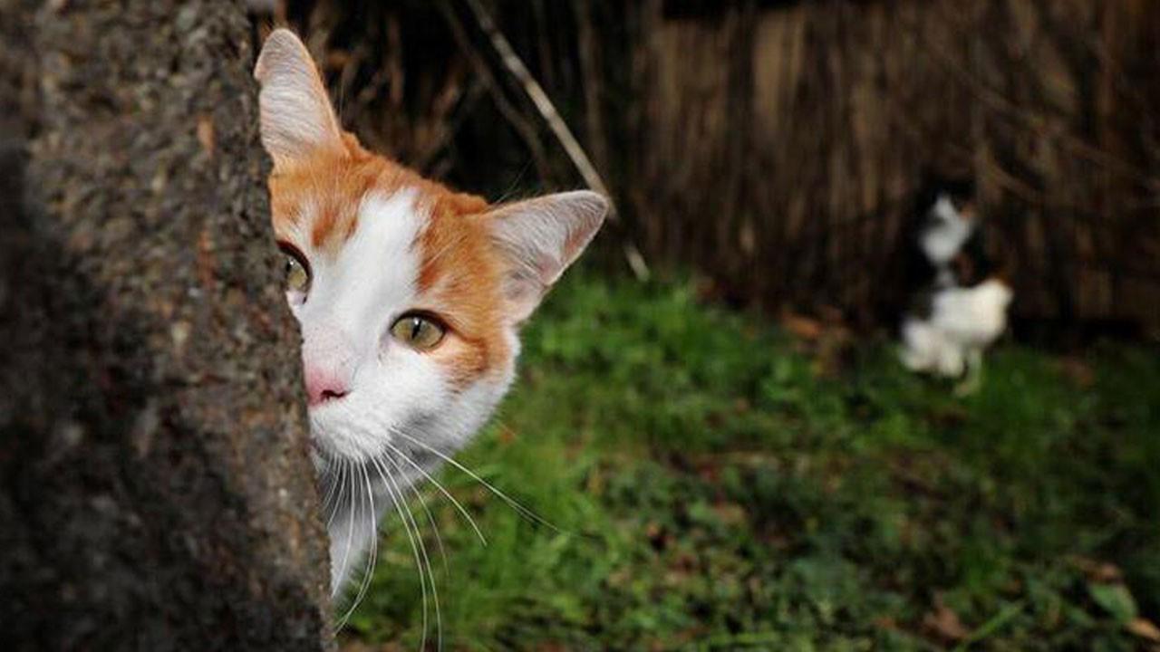 Melbourne'de kedilere sokağa çıkma yasağı!