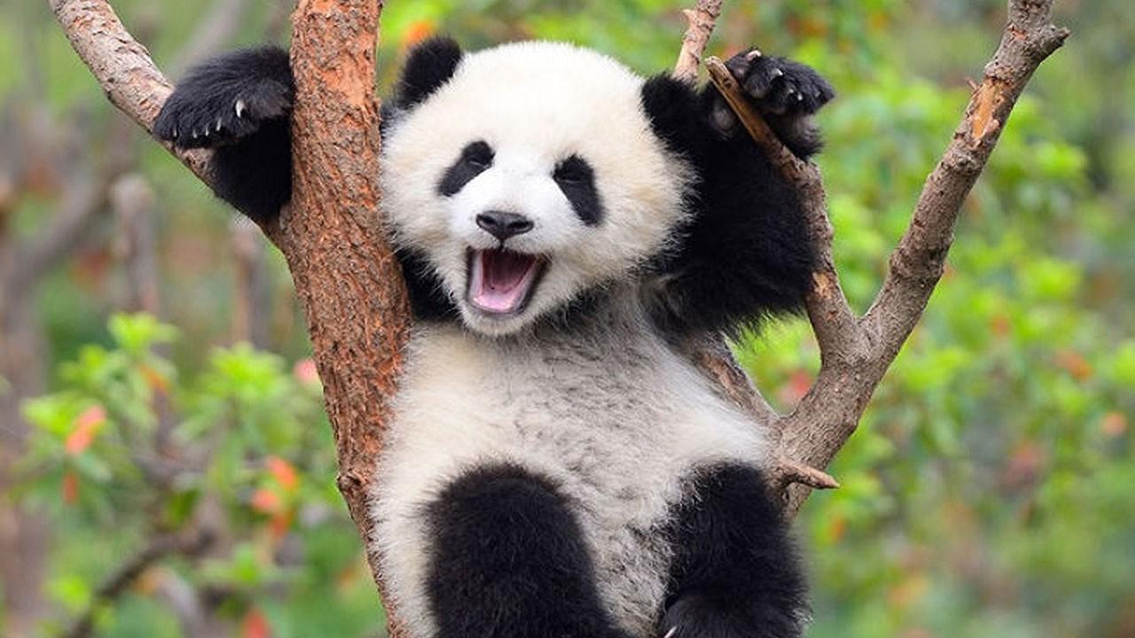 Güzel haber geldi! Pandalar artık tehlikede değil!