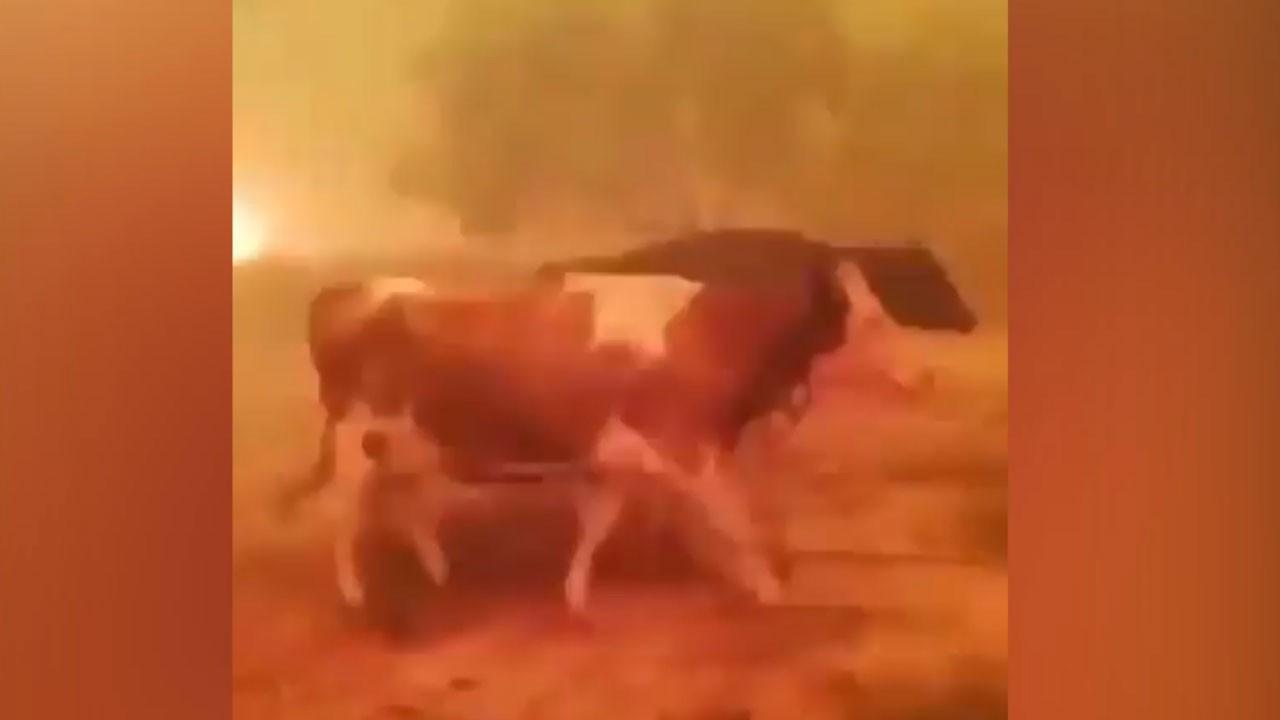 Hayvanlarını yangından kurtarmak için feryat etti
