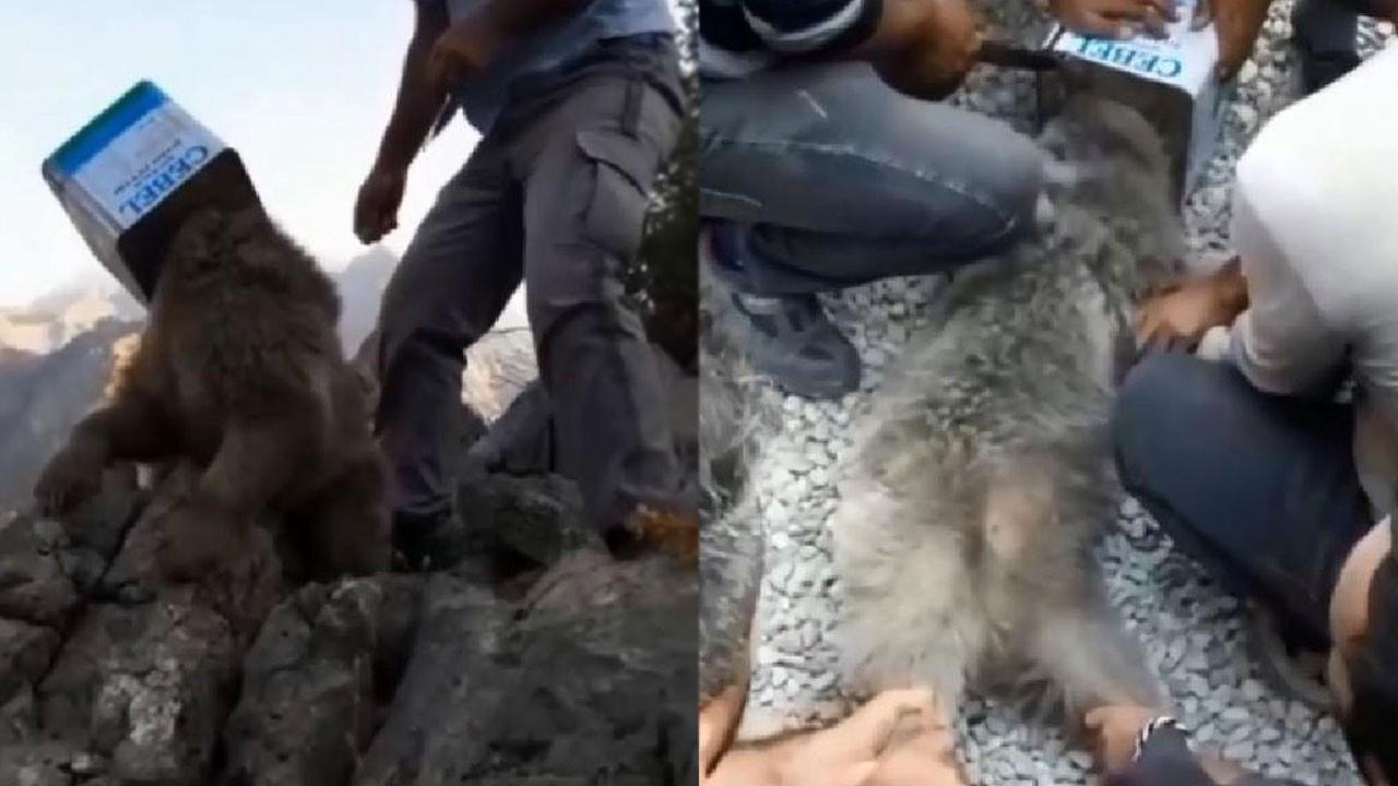 Kafası tenekeye sıkışan ayıyı kurtarma operasyonu