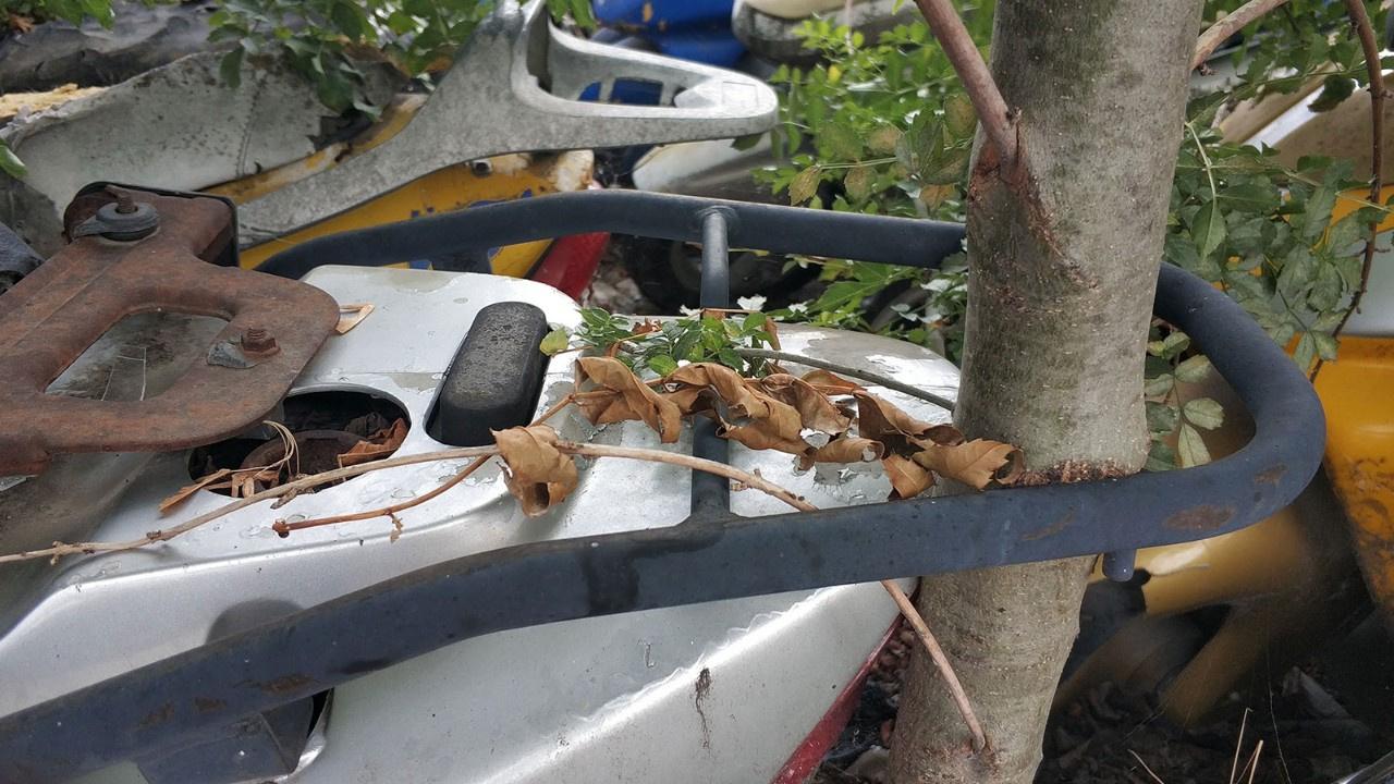 Motosikletin bagaj rafı arasından ağaç büyüdü
