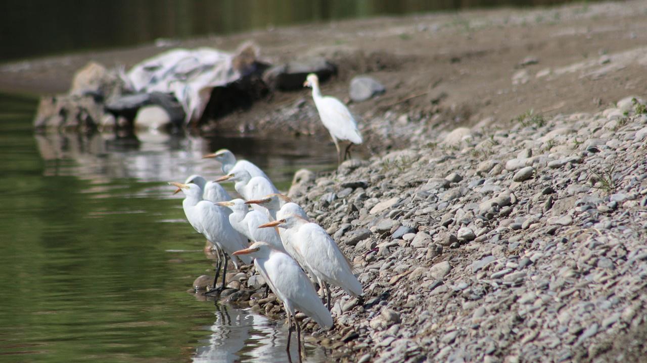 Kuraklık balıkçıl kuş türlerini göçe zorluyor
