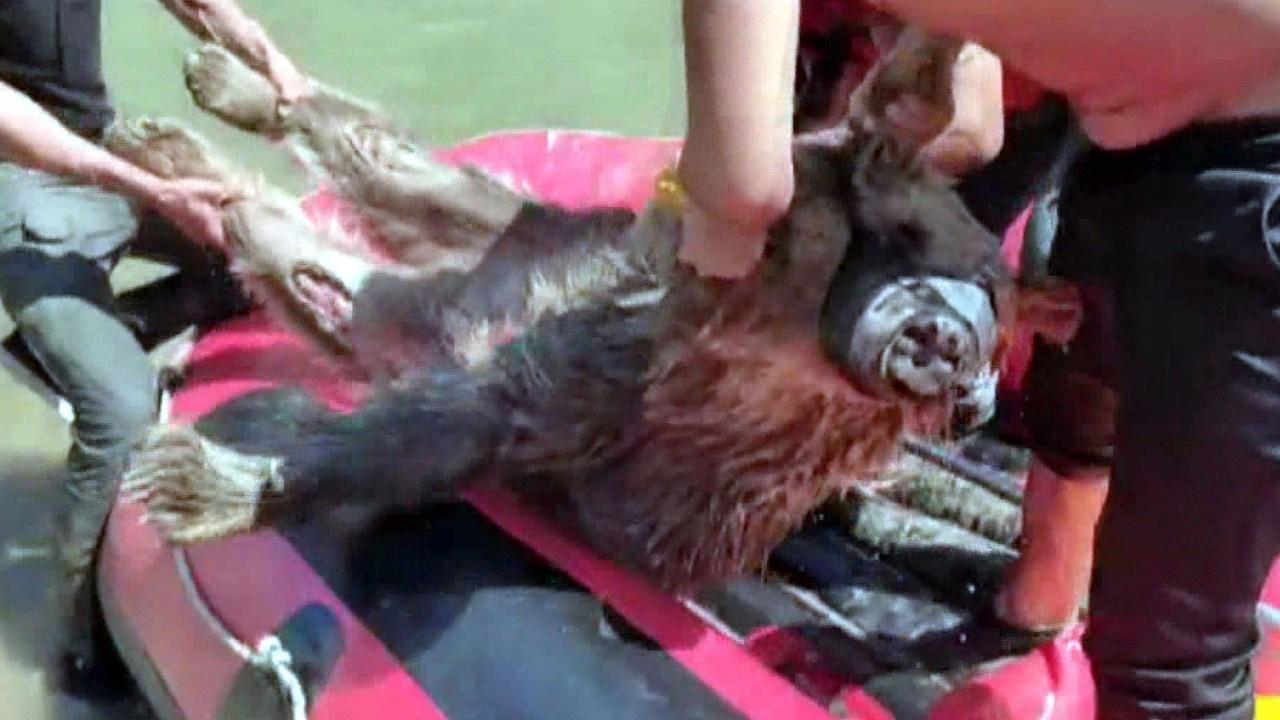 Zap Suyu'na kapılan ayıyı rafting ekibi kurtardı