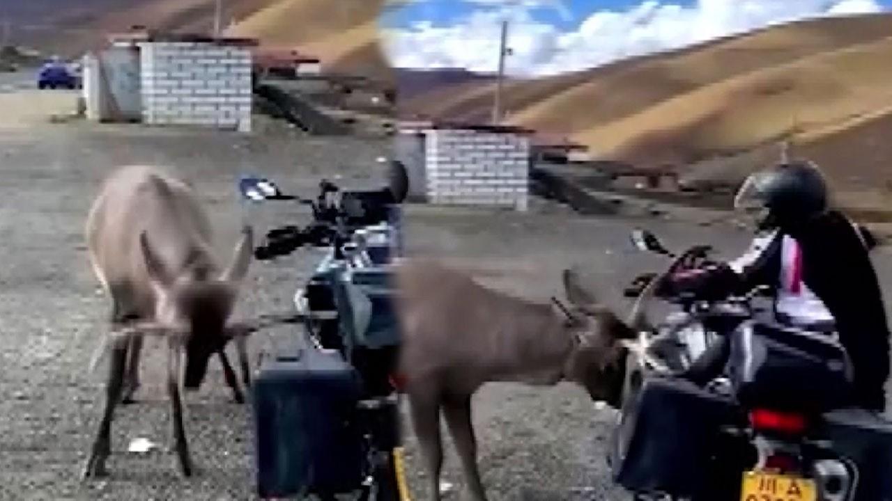 Geyik ve motosikletlinin mücadelesi şoke etti!