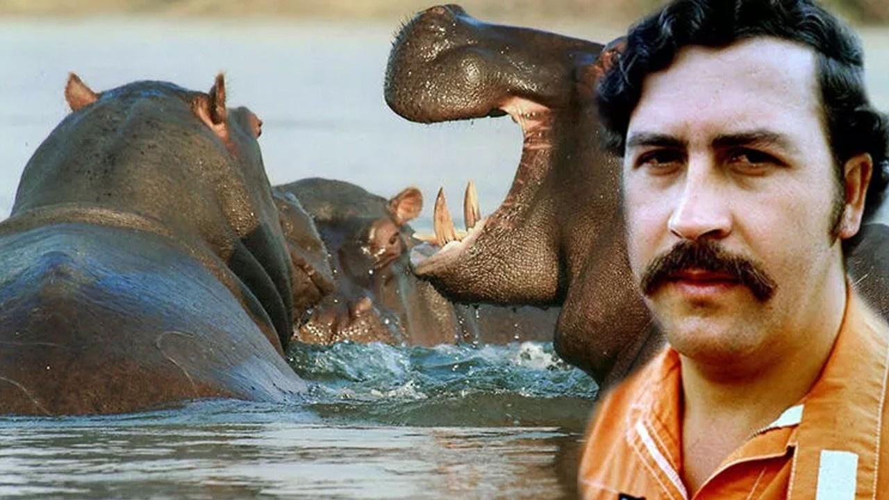 Pablo Escobar'ın su aygırları kısırlaştırıldı! Gerekçesi hayli ilginç...