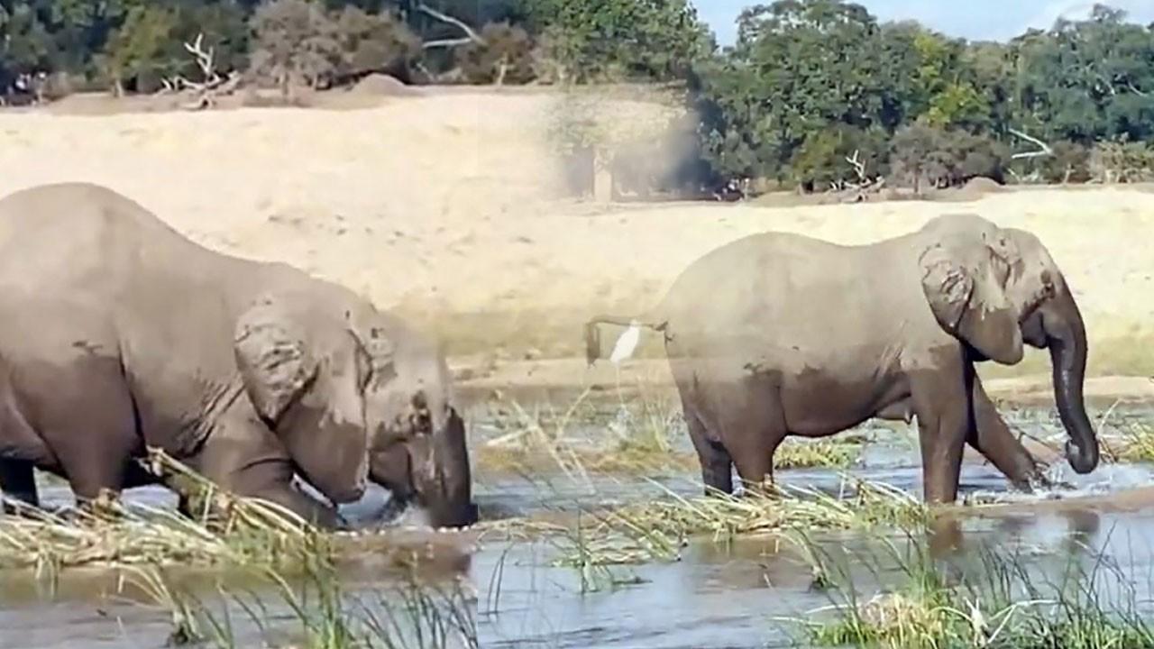Dev fil, timsahı ezerek öldürdü! O anlar kamerada