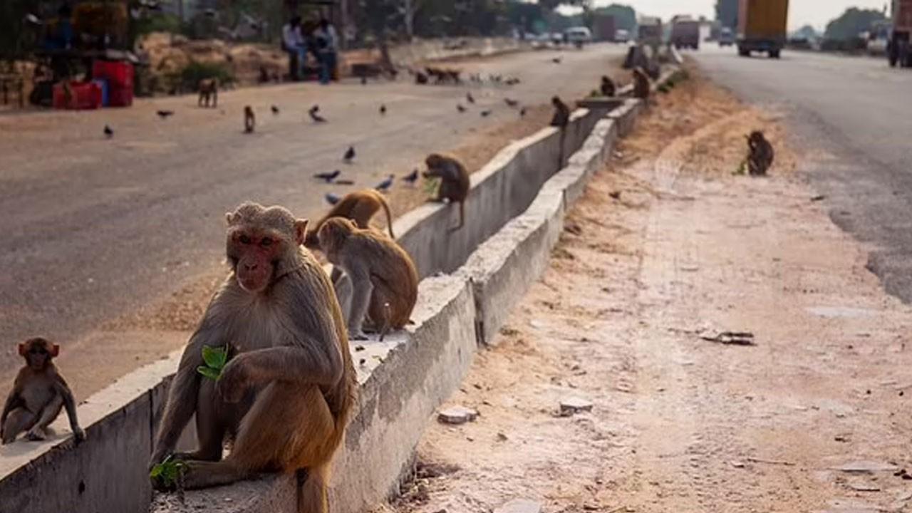 Maymunlar adamı öldürdü