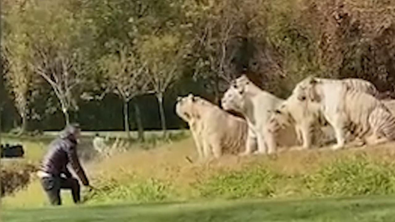 11 beyaz kaplanın bulunduğu alana gizlice girdi!